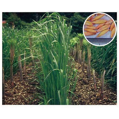 緑肥・牧草 種 【 えん麦 とちゆたか 】 種子 1kg ( 種 野菜 野菜種子 野菜種 )