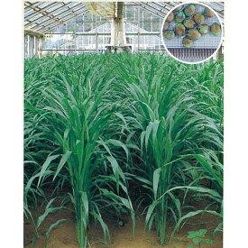緑肥・牧草 種 【 ソルゴー つちたろう 】 種子 1kg ( 種 野菜 野菜種子 野菜種 )