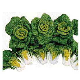 白菜 種 【 ちっチャイ菜 】 種子 小袋(約150粒) ( 種 野菜 野菜種子 野菜種 )
