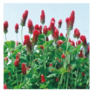 緑肥・牧草 種 【 クリムソンクローバ 】 種子 小袋(約60ml) ( 種 野菜 野菜種子 野菜種 )