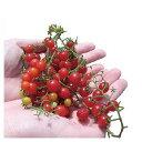 マイクロトマト 種 【赤】 20粒 ( 種 野菜 野菜種子 野菜種 )