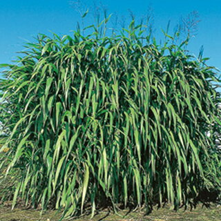 緑肥・牧草 種 【 ギニアグラス ソイルクリーン 】 種子 1kg ( 種 野菜 野菜種子 野菜種 )