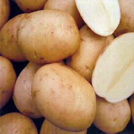 じゃがいも 種芋 【予約】 【 さんじゅう丸 1kg 入り】[ 馬鈴薯 ばれいしょ 種イモ 栽培 販売] 秋じゃがいも 秋ジャガイモ 秋馬鈴薯