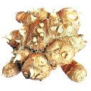 里芋(さといも) 【八ツ頭】 種芋 1kg(1個入り)[ サトイモ タネイモ 栽培 通販 販売 ]