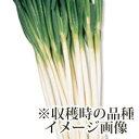 ねぎ苗 【石倉ネギ 1束(約25〜40本)】 [ 葱苗 販売 野菜苗 家庭菜園 ]