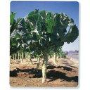 ケール 種 【 ジューシーグリーン 】 種子 小袋(約1.5ml) ( 種 野菜 野菜種子 野菜種 )