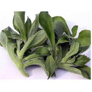 【 アイスプラントプチサラ 】 種子 ペレット1千粒 ( 種 野菜 野菜種子 野菜種 )