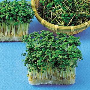 マスタード(からし菜) 種 1L 【 野菜のタネ スプラウト・もやし 】