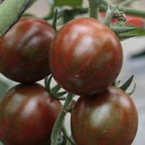 ミニトマト 種 【ブラッディタイガー】 8粒 ( 種 野菜 野菜種子 野菜種 )