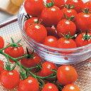 トマト 種 【 ミニトマト 紅小丸 】 小袋(20粒) ( トマトの種 )