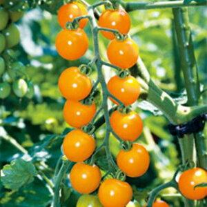 トマト 種 【 オレンジ千果 ファイトリッチ 】 小袋(15粒) ( トマトの種 )