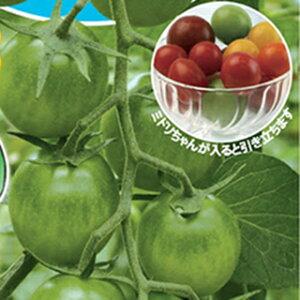 ミニトマト 種 【 ミドリちゃん 】 8粒 ( 種 野菜 野菜種子 野菜種 )