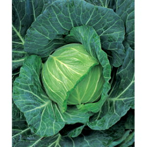 キャベツ 種 【 YR春空 】 DF 1.4ml ( 種 野菜 野菜種子 野菜種 )