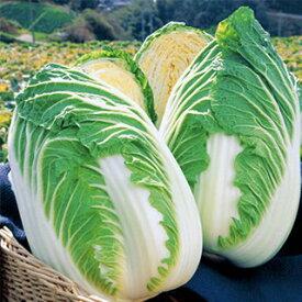 白菜 種 【 きらぼし90 】 20ml ( 白菜の種 )