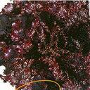 レタス 種 【 レタスブラックローズ 】 種子 コート5千粒 ( 種 野菜 野菜種子 野菜種 )