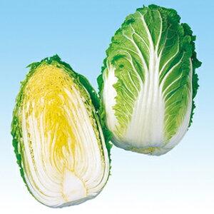 白菜 種 【 黄力65 】 種子 小袋(約1.1ml) ( 種 野菜 野菜種子 野菜種 )