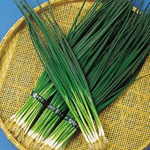 ネギ 種 【 ネギ博多くろねぎ(冬用) 】 種子 1L ( 種 野菜 野菜種子 野菜種 )