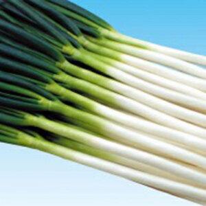 ネギ 種 【 龍翔 】 種子 2Lコート6千粒ビン ( 種 野菜 野菜種子 野菜種 )