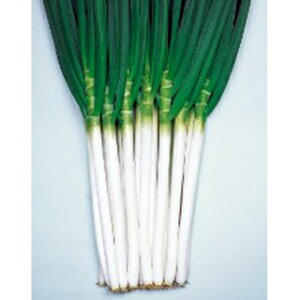 ネギ 種 【 白妙(しろたえ)一本葱 】 種子 コート(2L)5千粒 ( 種 野菜 野菜種子 野菜種 )
