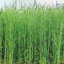 緑肥 種 【 ライ麦 ハルミドリ 】 1kg ( 緑肥の種 )
