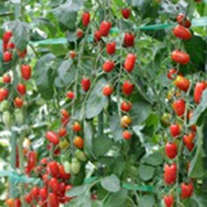 トマト 種 【 ミニトマト フラガール(赤) 】 小袋 ( トマトの種 )
