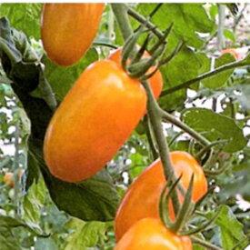 トマト 種 【 ミニトマト フラガールオランジェ(橙) 】 小袋 ( トマトの種 )