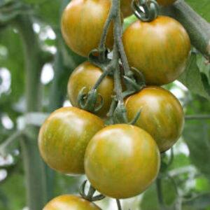 トマト 種 【 ミニトマト しましまイエロー 】 100粒 ( トマトの種 )