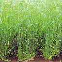 緑肥 種 【 ライ麦 ダッシュ 】 1kg ( 緑肥の種 )