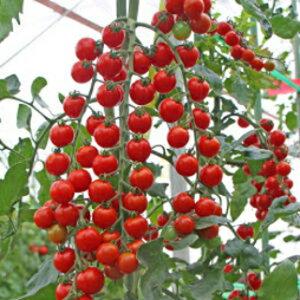 トマト 種 【 サンチェリーピュアプラス 】 100粒 ( トマトの種 )