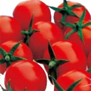 トマト 種 【 恋味 】 500粒 ( トマトの種 )
