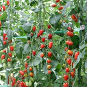 トマト 種 【 ミニトマト フラガール(赤) 】 100粒 ( トマトの種 )