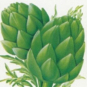 ハーブ 種 【 アーティチョーク グリーン 】 小袋 ( ハーブの種 )