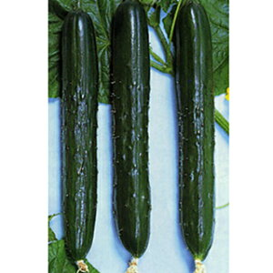 きゅうり 種 【青函白いぼ】 1.3ml ( 種 野菜 野菜種子 野菜種 )