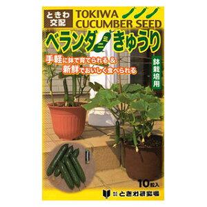 キュウリ 種 【 ベランダきゅうり 】 10粒 ( キュウリの種 )
