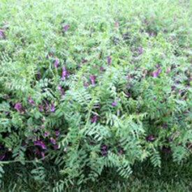 緑肥 種 【 ヘアリーベッチ まめっこ 】 1kg ( 緑肥の種 )