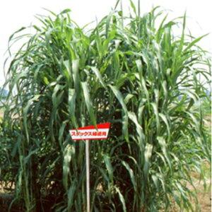 緑肥 種 【 スダックス 緑肥用 】 1kg ( 緑肥の種 )