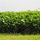 緑肥 種 【 クロタラリア ネマックス 】 1kg ( 緑肥の種 )