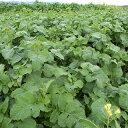 緑肥 種 【 チャガラシ 辛神 】 500g ( 緑肥の種 )