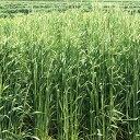 緑肥 種 【 ライ麦 春一番 】 1kg ( 緑肥の種 )