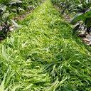 緑肥 種 【 マルチ大麦 てまいらず 】 10kg ( 緑肥の種 )