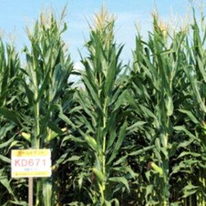 緑肥 種 【 飼料用トウモロコシ ゴールドデントKD671 】 3500粒 ( 緑肥の種 )