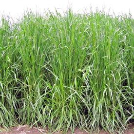 緑肥 種 【 イタリアンライグラス ヤヨイワセ 】 1kg ( 緑肥の種 )