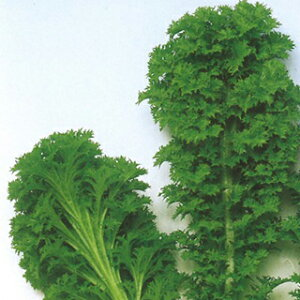 葉菜類 種 【 わさび菜 】 Lコート5千粒 ( 葉菜類の種 )