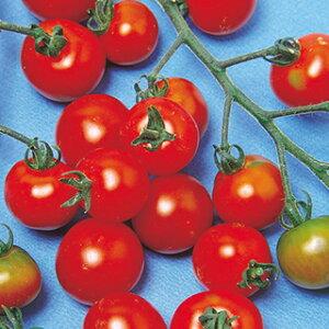 ミニトマト 種 【 レッドピグミー 】 小袋(20粒) ( ミニトマトの種 )