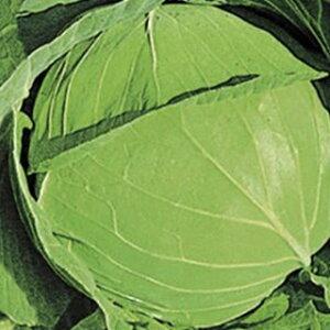 キャベツ 種 【 順風 】 種子 20ml ( 種 野菜 野菜種子 野菜種 )