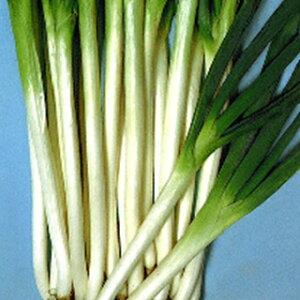 ネギ 種 【 余目 (あまるめ) 一本太葱 】 種子 2dl ( 種 野菜 野菜種子 野菜種 )