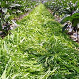 緑肥種【マルチ大麦てまいらず】1kg(緑肥の種)