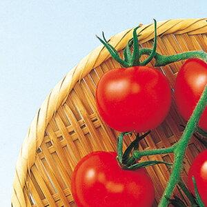 トマト 種 【 スーパーミディ 】 1000粒 ( トマトの種 )