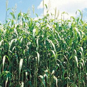 緑肥 種 【 ソルガム 緑肥用ソルゴー 】 小袋(60ml) ( 緑肥の種 )