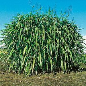 緑肥 種 【 ギニアグラス ナツカゼ 】 500g ( 緑肥の種 )